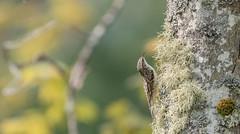 Grimpereau brun // Brown Creeper (Alexandre Légaré) Tags: grimpereau brun brown creeper certhia americana oiseau bird avian animal wildlife nature nikon d7500 johnville quebec canada