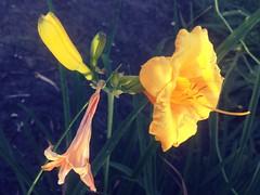 HMM #MacroMondays (Mr. Happy Face - Peace :)) Tags: macromondays theme floral flower art2019