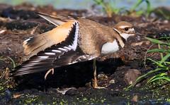 killdeer at Cardinal Marsh IA 653A1034 (naturalist@winneshiekwild.com) Tags: killdeer cardinal marsh winneshiek county iowa larry reis