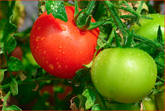 Tomate Macro Mondays (robert.pechmann) Tags: macromondays complementarycolours