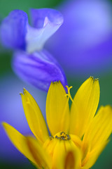 Wildflowers (kwphotos.com) Tags: flowers wildflowers color complementarycolours macromondays macro fuji xt2 80mm mt rainier nachespeak national park yellow purple violet green hmm