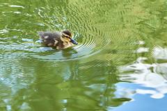 Little Rebel (Bohumil Boudník) Tags: sony a7 duck nature little animal bird watter