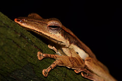 Long-snouted Tree-frog - 3 (Gomen S) Tags: herp animal wildlife nature macro 2019 srilanka 2018 night forest d500 105mmmicro frog amphibian