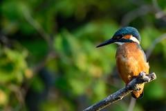 Martin pêcheur mâle (Glc PHOTOs) Tags: