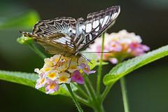 the clipper (Parthenos sylvia) - Otters and Butterflies - Buckfastleigh, Devon - June 2019 (Dis da fi we) Tags: parthenos sylvia otters butterflies buckfastleigh devon clipper nymphalid butterfly