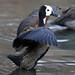 White-faced Whistling Duck, Dendrocygna viduata, at Austin Roberts Bird Sanctuary, Gauteng, South Africa.