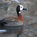 White-faced Whistling Duck, Dendrocygna viduata, at Austin Rober