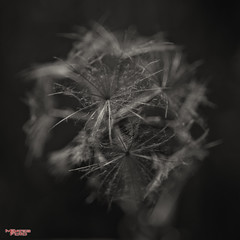 Tender Mercy (MBates Foto) Tags: availablelight black blackandwhite bokeh daylight existinglight flora inspiration inspirational inspire monochrome nikkorlens nikon nikonais nikond810 nikonfx outdoors park plant spokane washington unitedstates