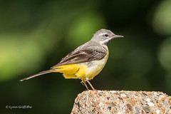 Grey Wagtail 502_0795.jpg (Mobile Lynn) Tags: birds pipitswagtails greywagtail nature wagtail bird fauna motacillacinerea motacillidae oscines passeri passeriformes songbird songbirds wildlife windsor england unitedkingdom coth specanimal coth5 ngc
