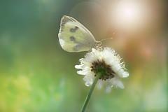 Resting... (KissThePixel) Tags: cabbagebutterfly butterfly butterflies flower macro nature insect whitebutterfly bokeh bokehlicious light sunlight nikon summer august