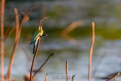 Catching a dragonfly (jrazarcon) Tags: nikon d500 sigma 150600mm f563dgoshsmlenssport darwin palmerston australia nt topend northernterritory john azarcon jrazarcon bird dryseasons foggdam rainforest rainbowbeeeater meropsornatusmeropidae dragonfly