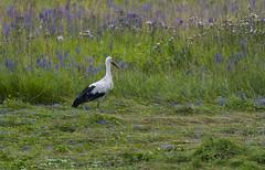 White stork (madziulka_a) Tags: whitestork poland wildlife bocian nikon d800 tamron 150600mm photography bird nature