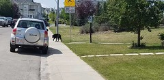 SIGHTING black lab Dog #NewBrighton gardens. It has a collar but no tags and won't let us touch him. DO no chase call 311 YYC Pet Recovery shared a post. In tact male black lab on new Brighton gardens. It has a collar but no tags and won't let us touch hi (yycpetrecovery) Tags: ifttt august 05 2019 0112am
