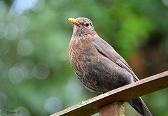 Young Blackbird (Eleanor (New account))) Tags: blackbird young fence bokeh garden stanmore uk nikond7100 july2019 coth coth5