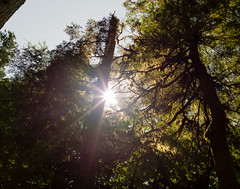 Rod of ages (Honeycomb Studios) Tags: forest trees sun sky sunstars canada lush wilderness trunk green nature naturephotography cathedralgrove