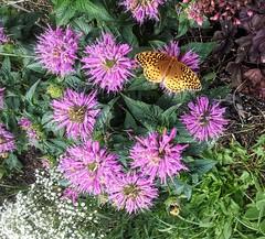 Butterfly on bee balm (yooperann) Tags: