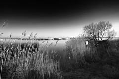 dusk time (the ripped bystander) Tags: blackwhite dusk landscape camargue swamp tree reeds