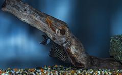 Royal Pleco (Bojan Žavcer) Tags: royal pleco aminal macro fish sonyilce7r fe90mmf28macrogoss aquarium