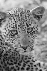 "black & white fine art portrait of a gorgeous leopard cub. Elephant Plains Game Lodge, Sabi Sand Game Reserve, Kruger National Park, South Africa. (grumpybaldprof) Tags: canon 80d ""canon80d"" sigma 150600mm f563 ""dgoshsmsport"" ""sigma dgoshsmsport"" bw blackwhite ""blackwhite"" ""blackandwhite"" noireetblanc monochrome ""fineart"" striking artistic interpretation impressionist stylistic style mood calm peaceful ""elephantplainsgamelodge"" ""sabisandgamereserve"" ""krugernationalpark"" ""southafrica"" limpopo mpumalanga ""big5"" wildlife lion hippo rhino elephant buffalo ""painteddog"" ""africanhuntingdog"" cheetah ""gamereserve"" lodge ""gamedrives"" ""gamewalks"" animals ""bigcat"" ""gamedrive"" ""gamewalk"" ""wildanimals"" bird squirrel calf ""elephantcalf"" hyena zebra wildebeest giraffe warthog ""treesquirrel"" ""smith'sbushsquirrel"" ""commonzebra"" ""plainszebra"" vervet ""vervetmonkey"""