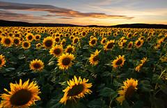 Sonnenblumen in der Abenddämmerung (Mariandl48) Tags: sonnenblumen abenddämmerung steiermark austria