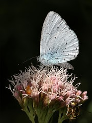 Holly Blue Butterfly (DebbieH82) Tags: 030819messingham hollyblue celastrinaargiolus butterfly canon 5d mkivlincolnshiremessingham