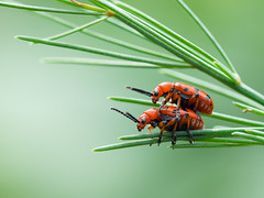 Crioceris duodecimpunctata - rode aspergekever (de_frakke) Tags: aspergehaantje crioceris rodeaspergekever tuin garden macro insect macromondays complementarycolors red green spargel asparagus beetle