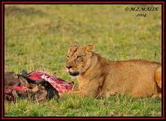 FEMALE LIONESS (Panthera leo) WITH KILL......MASAI MARA......SEPT 2014 (M Z Malik) Tags: nikon d3x 200400mm14afs kenya africa safari wildlife masaimara kws exoticafricanwildlife exoticafricancats flickrbigcats lioness leo ngc