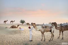 Camels and Camel Men (David_Lazar) Tags: india thar desert rajasthan camels
