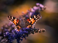 Hello Sunshine! (ursulamller900) Tags: complementarycolours mygarden macro butterfly distelfalter orange blue orangeandblue insekt schmetterling pentacon28100