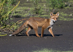 Juvenil Red Fox ( Vulpes vulpes ) (Dale Ayres) Tags: red fox juvenile vulpes nature wildlife handheld mud