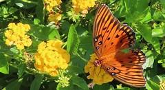 orange butterfly, gulf fritillary, on lantana (Martin LaBar) Tags: southcarolina pickenscounty lantana butterfly flower flowers lepidoptera orange wings antennae verbenaceae shadow gulffritillary agraulisvanillae