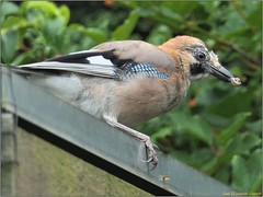 36CC1075-64FD-4DCA-9733-DD62339F3B09 (engelsejann) Tags: natuur vogel gaai