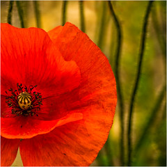 MacroMondays-Complementary Colours-5Aug19 (+Pattycake+) Tags: ©patriciawilden2019 poppy red green macromondays complementarycolours macro closeup nature flower squarecrop wildfloweruk texture petals outside summer colours panasonicdmcgm1 mirrorless 43