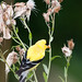 American Goldfinch, m