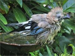 A21D832F-EB93-4E13-9F26-326F2FC38480 (engelsejann) Tags: natuur vogel gaai