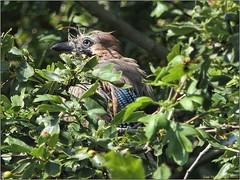 84A3C6D0-BCC9-4676-9E07-DAD51A82123D (engelsejann) Tags: natuur vogel gaai