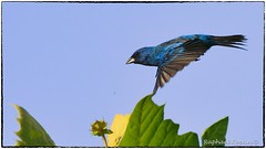 Indigo Bunting (M) (RKop) Tags: armlederpark cincinnati raphaelkopanphotography d500 600mmf4evr 14xtciii