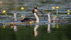 Great crested grebe (JS_71) Tags: nature wildlife nikon photography outdoor 500mm bird new summer see natur pose moment outside animal flickr colour poland sunshine beak feather nikkor d500 wildbirds planet global national wing eye watcher inspiredbylove