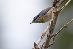 Red-breasted Nuthatch (Sitta canadensis) (rangerbatt) Tags: nuthatch redbreastednuthatch sittacanadensis utahwildlife bird wildutah d7500 nikon sigma150600mmsports wasatchmountains