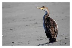 Phalacrocorax aristotelis (juvenile) (M.L Photographie) Tags: bird oiseau nature wild wildlife wildlifephotography france corse corsica nikon coolpix p900