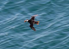 Puffin (  Fratercula arctica ) fly-by (DaveGray) Tags: fraterculaarctica puffin flying flight birds thewildlifetrustofsouthwestwales pembrokeshirecoastnationalpark skomerisland canoneos70d