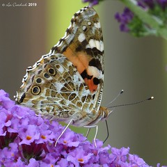 Painted lady (LPJC (away for August)) Tags: paintedlady butterfly garden nottinghamshire uk 2019 lpjc