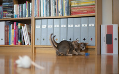 They Have Found a Spiral (peter_hasselbom) Tags: cat cats kitten kittens abyssinian 10weeksold blue 2cats 2kittens twocats twokittens play game hunt library books bookshelf hardwoodfloor naturallight 50mm f14 spiral bluespiral bluetoy