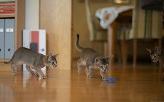 Puzzling and Enigmatic (peter_hasselbom) Tags: cat cats kitten kittens abyssinian 10weeksold blue ruddy usual 3cats 3kittens play game hunt library books bookshelf hardwoodfloor naturallight 50mm f14 spiral bluespiral bluetoy