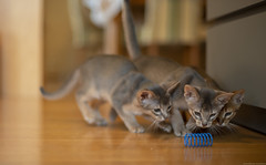 Kill It - You First (peter_hasselbom) Tags: cat cats kitten kittens abyssinian 10weeksold blue ruddy usual 3cats 3kittens play game hunt library books bookshelf hardwoodfloor naturallight 50mm f14 spiral bluespiral bluetoy