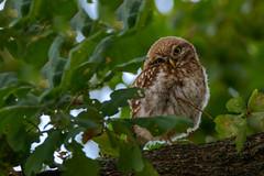 Verschmitzt (cfowallburg) Tags: athenenoctua jungvogel steinkauz brandenburg littleoml