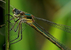 DSC05358 - Kopie (Argstatter) Tags: mosaikjungfer insekt libelle bokeh natur dragonfly tier nahaufnahme