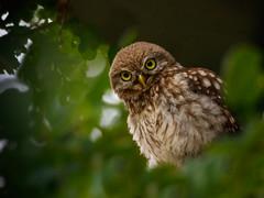 Vorsicht ! (cfowallburg) Tags: athenenoctua jungvogel steinkauz brandenburg littleoml