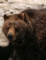 Grizzly Bear, Grouse Mountain, Vancouver (crafty1tutu (Ann)) Tags: travel holiday 2018 canadaandalaska canada animal bear grizzlybear male grousemountain vancouver crafty1tutu ef100400mmf4556lisiiusm anncameron canon5dmkiii naturethroughthelens