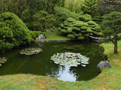 San Francisco, CA, Golden Gate Park, Japanese Tea Garden, Pond with Water Lilies (Mary Warren 13.8+ Million Views) Tags: sanfranciscoca goldengatepark japaneseteagarden garden park nature flora plants green leaves foliage pond water waterlilypads bushes trees reflection